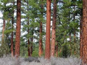 Restored ponderosa pine forest.