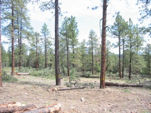 Ponderosa pine stand after fuels reduction thinning.