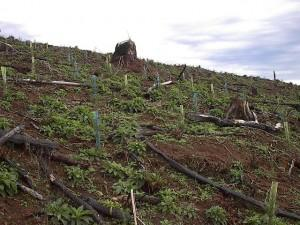 Clearcut post reforestation