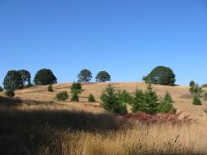 Restored oak habitat near Eugene, Oregon.