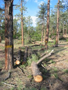 Trees marked for removal according to fuels management plan.