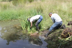 IRM sub-contractors removing noxious weed yellow flag iris for Santiam Watershed Council.