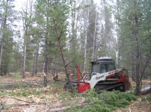 Lightfoot shearing dense ponderosa pine forest.