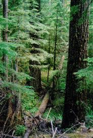 Restored douglas-fir forest.