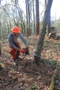 IRM crew removing small diameter trees.